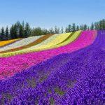大自然の美しい景色が広がる!富良野・美瑛でおすすめの人気観光スポット10選!