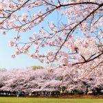 とにかく美しすぎる!京都で満開の桜が見られるおすすめの花見の名所10選!