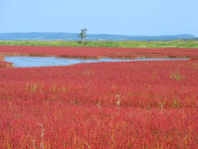 3. 一面真っ赤に染まる!サンゴ草の大群落「能取湖・サンゴ草」