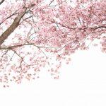 一足お先に!沖縄で日本一早い満開の桜のお花見におすすめのベストスポット10選!