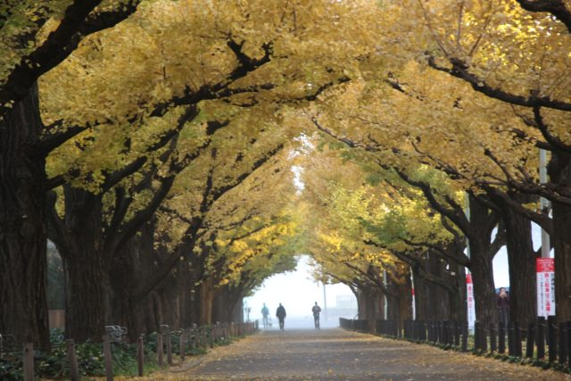 2. Strolling on the beautiful Golden-road The popular autumnal tints spot in Tokyo [Meiji-jingu Gaien]
