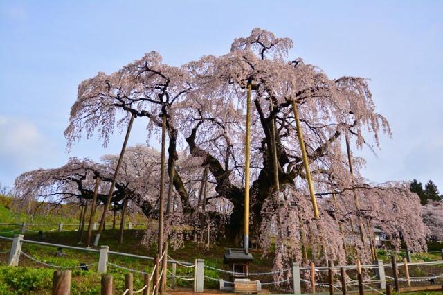 3. 日本三大桜の1つ。樹齢1000年を超えた「三春滝桜」