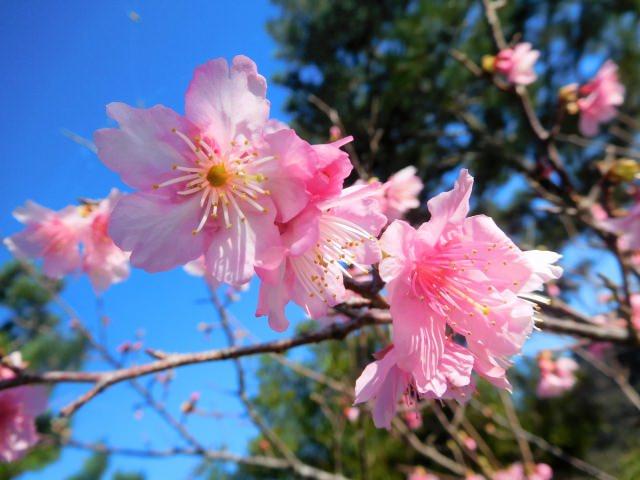 4. 沖縄県で桜のお花見を楽しむならここ!「八重岳」