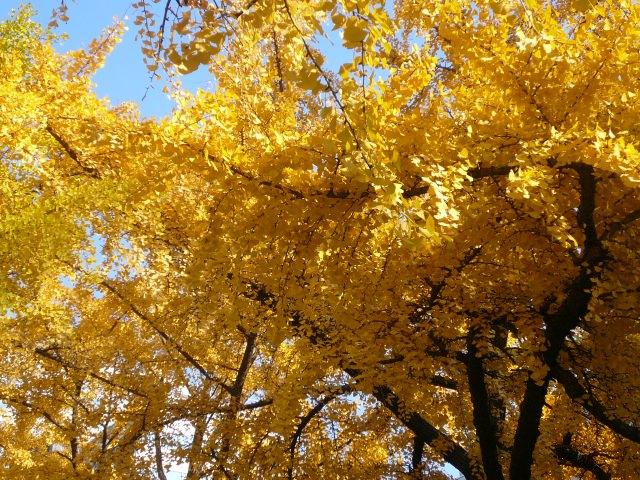 1. 一面黄金色に染まる。大阪の紅葉スポット!「御堂筋 (大阪)」