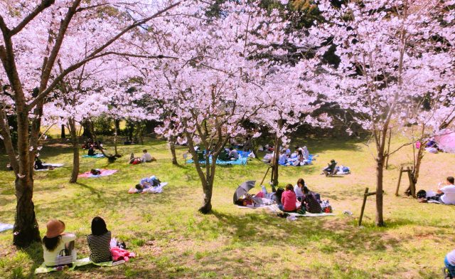 2. This place has been chosen among the 100 selected sites for viewing cherry-blossoms!   The recommended spot for cherry-blossom-viewing [Nishi Park (Fukuoka)]
