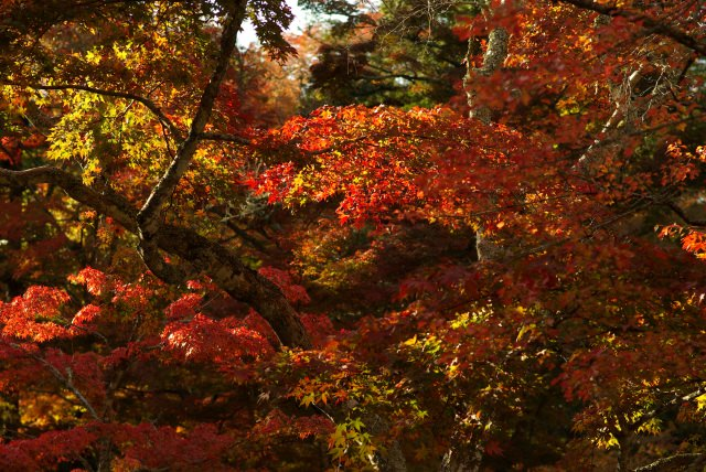 World Heritage! Viewing Spot for Autumn Foliage in Miyajima, Momijidani Park