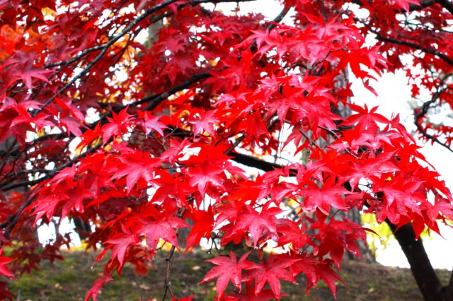More Than Cherry Blossoms! Enjoy Autumn Foliage in Magnificent Nature, Hirosaki Park and Hirosaki Castle