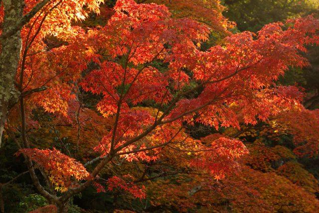 10. 赤く染まるもみじ橋も美しい「宮島・紅葉谷公園」