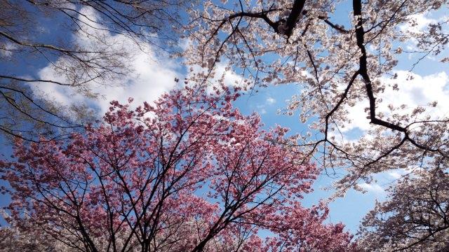 6. 時期によって桜の楽しみ方が変わる。「国営昭和記念公園」