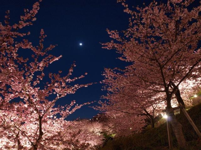 1. 町全体に咲きほこる早咲きの桜「河津桜」
