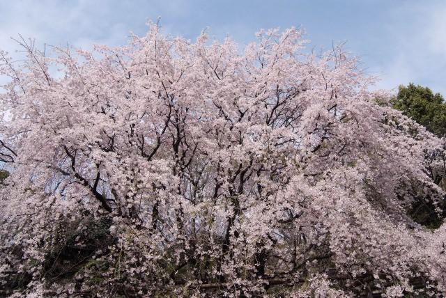 5. 他のスポットとは違った桜景色を楽しみたいならここへ!「六義園」