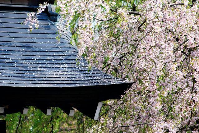 7. 風情ある町並みの中で桜を楽しむ「角館の武家屋敷」