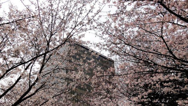 2. 石垣をこぼれ落ちるように咲き乱れる桜「勝山公園(小倉城)」(北九州市)