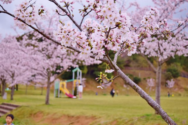 3. 静かな自然環境に囲まれた県内屈指の桜の名所「甘木公園」(朝倉市)