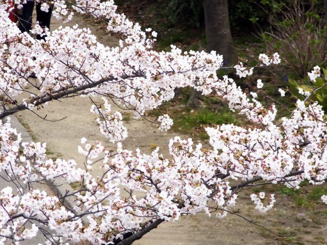 1. 大阪の桜の名所!見るものを魅了するスポット「毛馬桜之宮公園」