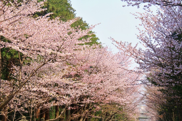 2. 札幌の歴史感じる桜の花見の名所「北海道神宮」
