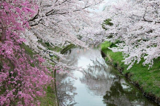 7. 川沿いに咲き乱れる桜。奈良でおすすめのお花見スポット!「佐保川の桜」