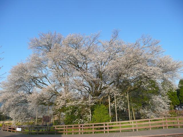 3. 中央に佇む1本の桜は圧巻!「一心行の大桜」