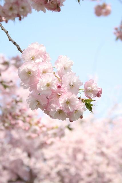 9. 全長約4kmに渡る八重桜の桜堤!「千曲川堤防の桜堤」