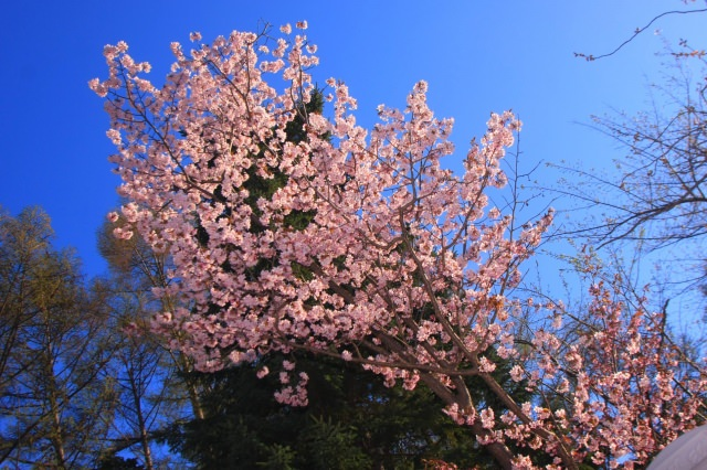 1. 札幌定番のお花見スポット!「円山公園」
