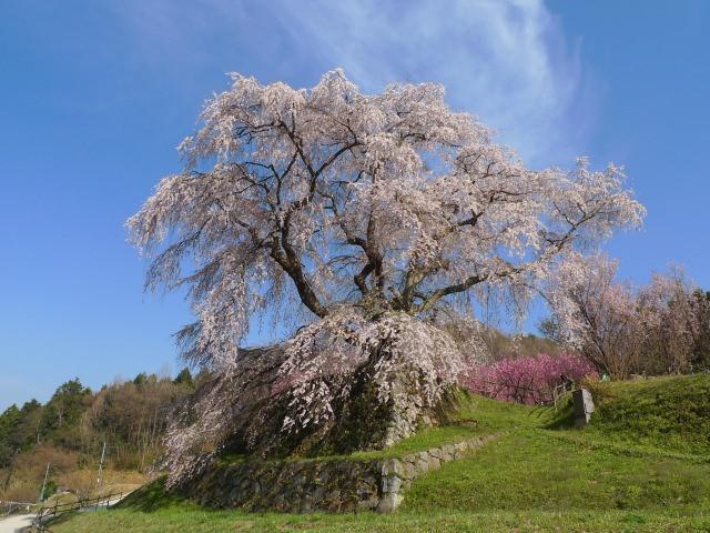 6. その圧倒的な見た目は一見の価値あり!奈良の「又兵衛桜」