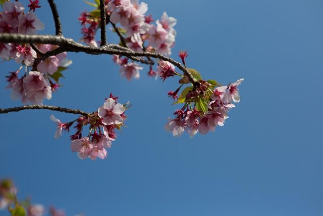 3. 眼下に広がる桜の絨毯。広島の定番花見スポット「千光寺公園」