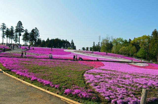 1. 秩父の春に是非、お出かけを!花の観光名所「羊山公園」