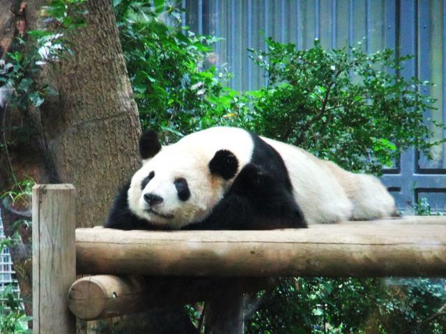 上野動物園のアイドル!「ジャイアントパンダ」
