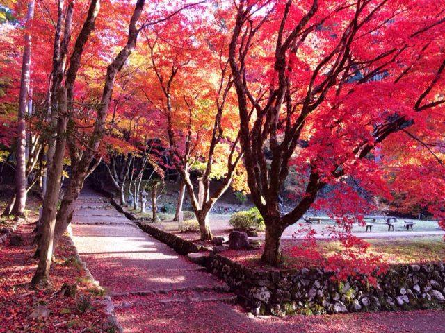 8. 苔むした石垣に200本の紅葉が舞い落ちる!「鶏足寺」